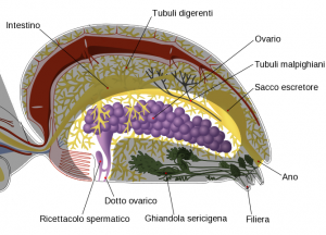 Spider_internal_anatomy-it_Repro
